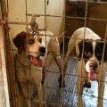 Gez Anpana e Carabinieri scoprono armi illegali e cani maltrattati