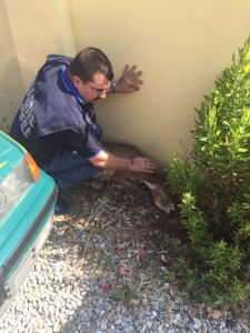 Porto Frailis, (Sardegna) cerbiatto aggredito dai cani randagi salvato da un commissario ANPANA