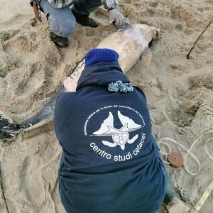 Ritrovamento della carcassa di un cetaceo a Campomarino (CB)