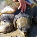Capo Frasca, tartaruga allo stremo salvata dai pescatori e dalla Forestale