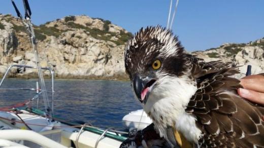 ++Muore il falco pescatore salvato dallo skipper Andrea Mura++