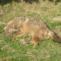 Travolto  e ucciso in tangenziale uno sciacallo dorato