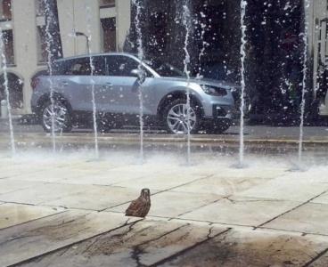Oristano, un falchetto fa il bagno nella fontana