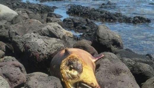 Ancora un delfino mutilato nelle spiagge di Orosei