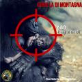 Gorilla di Montagna: il nostro parente più prossimo si sta estinguendo
