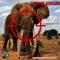 Elefante Africano: uccisi al ritmo di 1 ogni 15 minuti dai bracconieri d'avorio.