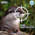 #AnimaliInPericolo: la lontra è quasi scomparsa dall'Italia