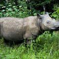 Speranza per il Rinoceronte di Sumatra: almeno 15 esemplari individuati nel Borneo